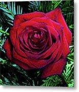 Christmas Rose Metal Print by Mariola Bitner