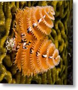 Christmas Tree Worm Spirobranchus Metal Print