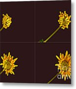 Chrysanthemum Blooming Sequence Metal Print