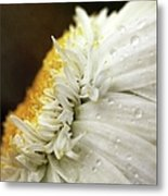 Chrysanthemum Daisy With Raindrops Metal Print
