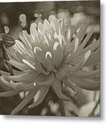 Chrysanthemum In Bloom Metal Print