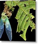 Cicada Emerging From Chrysalis Metal Print