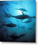Circling Bluefin Tuna Metal Print