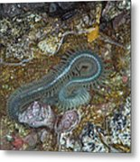 Clam Worm Metal Print