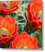 Claret-cup Cactus 2am-28736 Metal Print