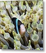 Clarke's Anemonefish Metal Print by Georgette Douwma