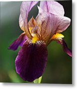 Classic Purple Two-tone Dutch Iris Metal Print