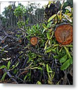 Clear Cut Red Mangrove Stand Metal Print