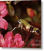 Clear Wing Hummingbird Moth 1 Metal Print
