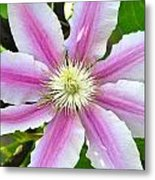 Clematis Blossom Metal Print