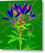 Cleome Gone Abstract Metal Print