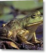 Close-up Of A Bullfrog Metal Print