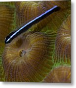 Close-up Of A Goby On Coral, Belize Metal Print