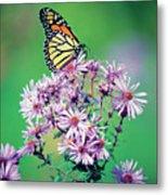 Close-up Of A Monarch Butterfly (danaus Plexippus ) On A Perennial Aster Metal Print