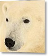Close Up Of A Polar Bear, Churchill Metal Print