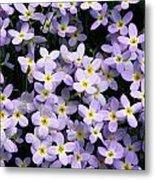 Close-up Of Bluet Flowers Houstonia Metal Print