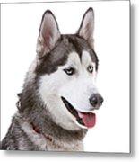 Close-up Of Siberian Husky Metal Print