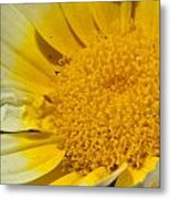 Close Up Of The Inside Of A Yellow And White Sun Flower Metal Print