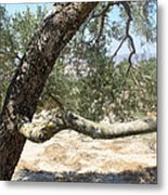 Close Up Olive Tree Metal Print