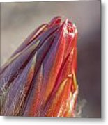 Close Up On Cactus Flower Bud Metal Print