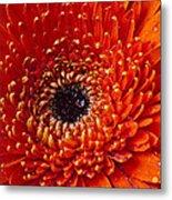 Close Up Orange Mum Metal Print