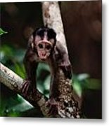Close View Of A Baby Macaque Metal Print