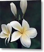 Close View Of A Delicated Plumeria Metal Print