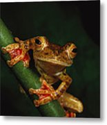 Close View Of A Harlequin Tree Frog Metal Print by Tim Laman