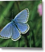 Close View Of A Maculinea Alcon Metal Print