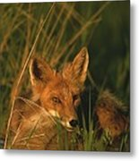 Close View Of A Red Fox At Rest Metal Print