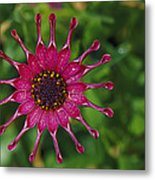 Close View Of A South African Daisy Metal Print