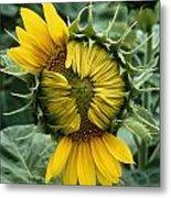 Close View Of A Sunflower Blossom Metal Print