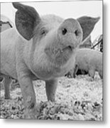 Close View Of A Young Pig In A Snowy Metal Print