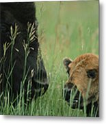 Close View Of An American Bison Metal Print