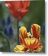 Close View Of Blossoming Tulips Metal Print