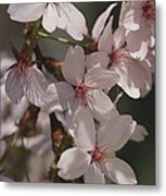 Close View Of Cherry Blossoms Metal Print