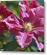Close View Of Clematis Flowers Metal Print