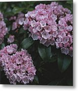 Close View Of Flowering Mountain Laurel Metal Print