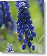 Close View Of Grape Hyacinth Flowers Metal Print