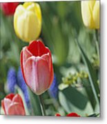 Close View Of Spring Tulips In Bloom Metal Print