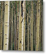 Close View Of Tree Trunks In A Stand Metal Print