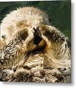 Closeup Of A Captive Sea Otter Covering Metal Print