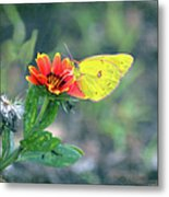 Clouded Sulphur Butterfly Square Metal Print