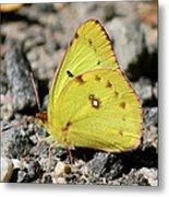 Clouded Sulphur Metal Print