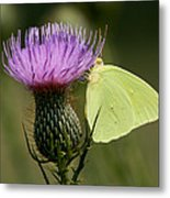 Cloudless Sulfur Butterfly On Bull Thistle Wildflower Metal Print