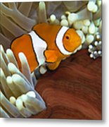 Clown Anemonefish In Anemone, Great Metal Print