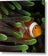 Clownfish In Green Anemone, Indonesia Metal Print