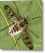 Cluster Fly Killed By Parasitic Fungus Metal Print