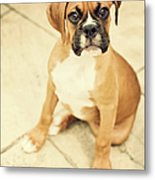 Clyde- Fawn Boxer Puppy Metal Print