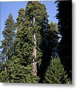 Coast Redwood Metal Print